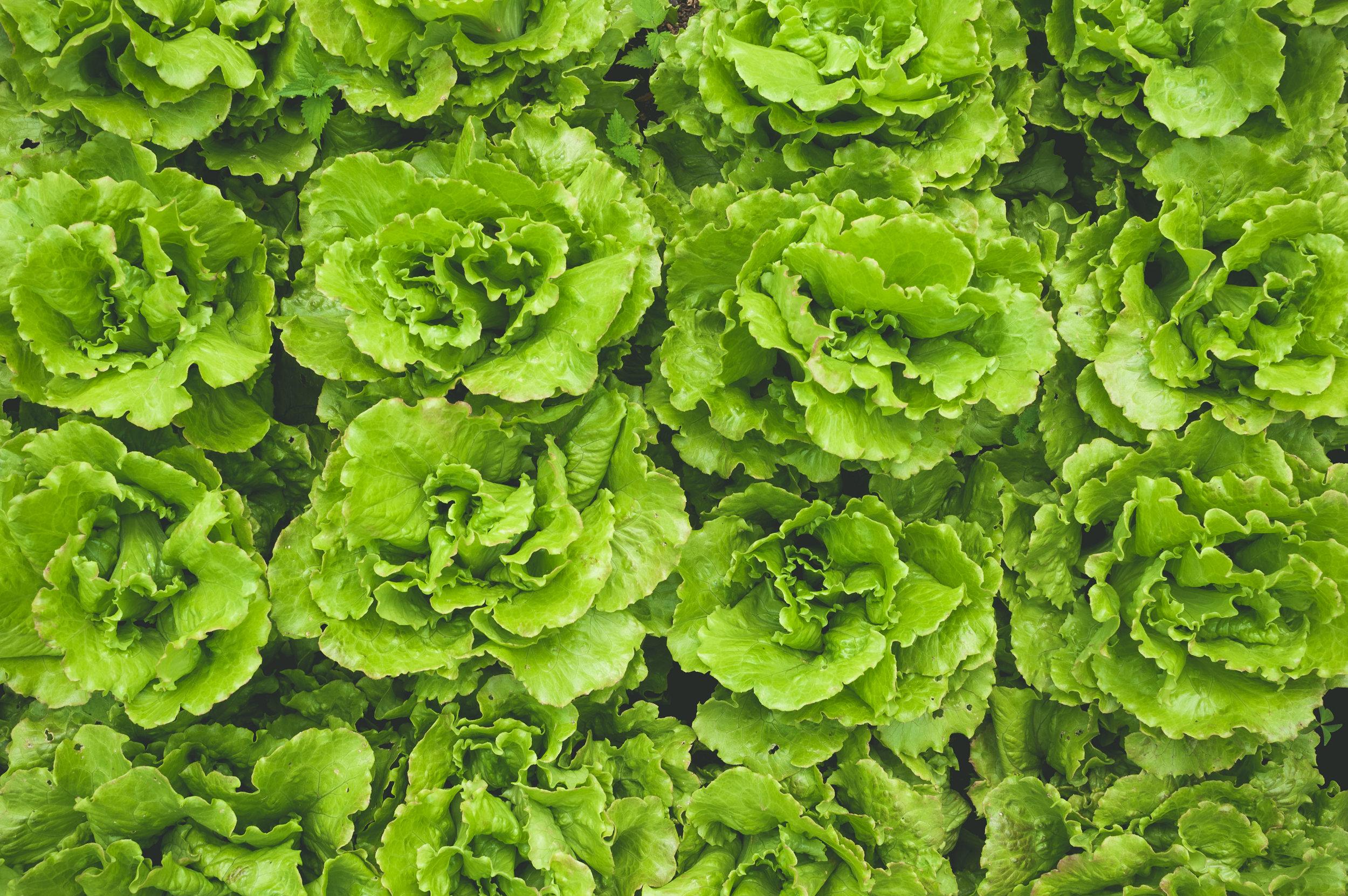 letuce-leaf-photography.jpg