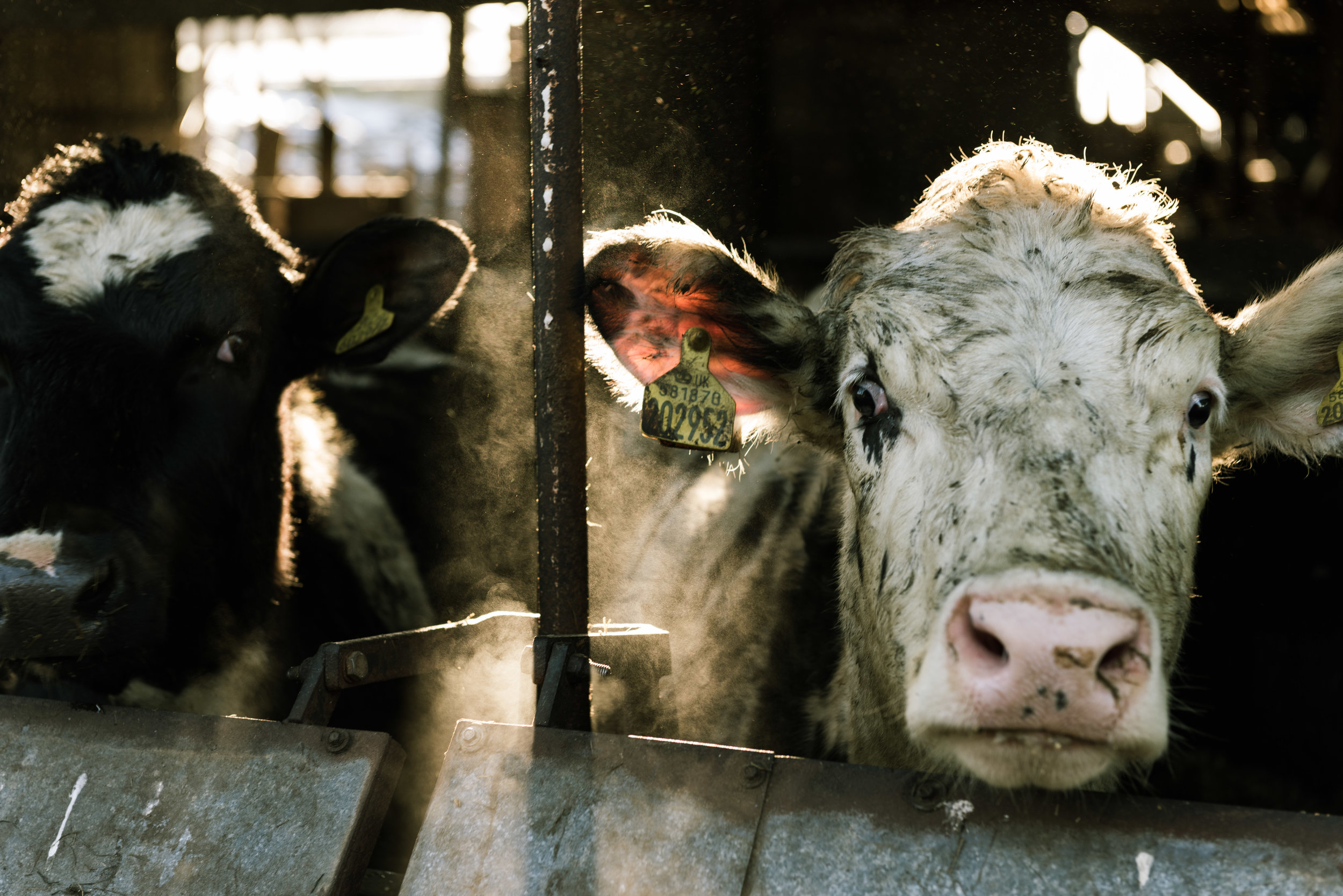 dairy-farm-light-beam-cow (1 of 1).jpg