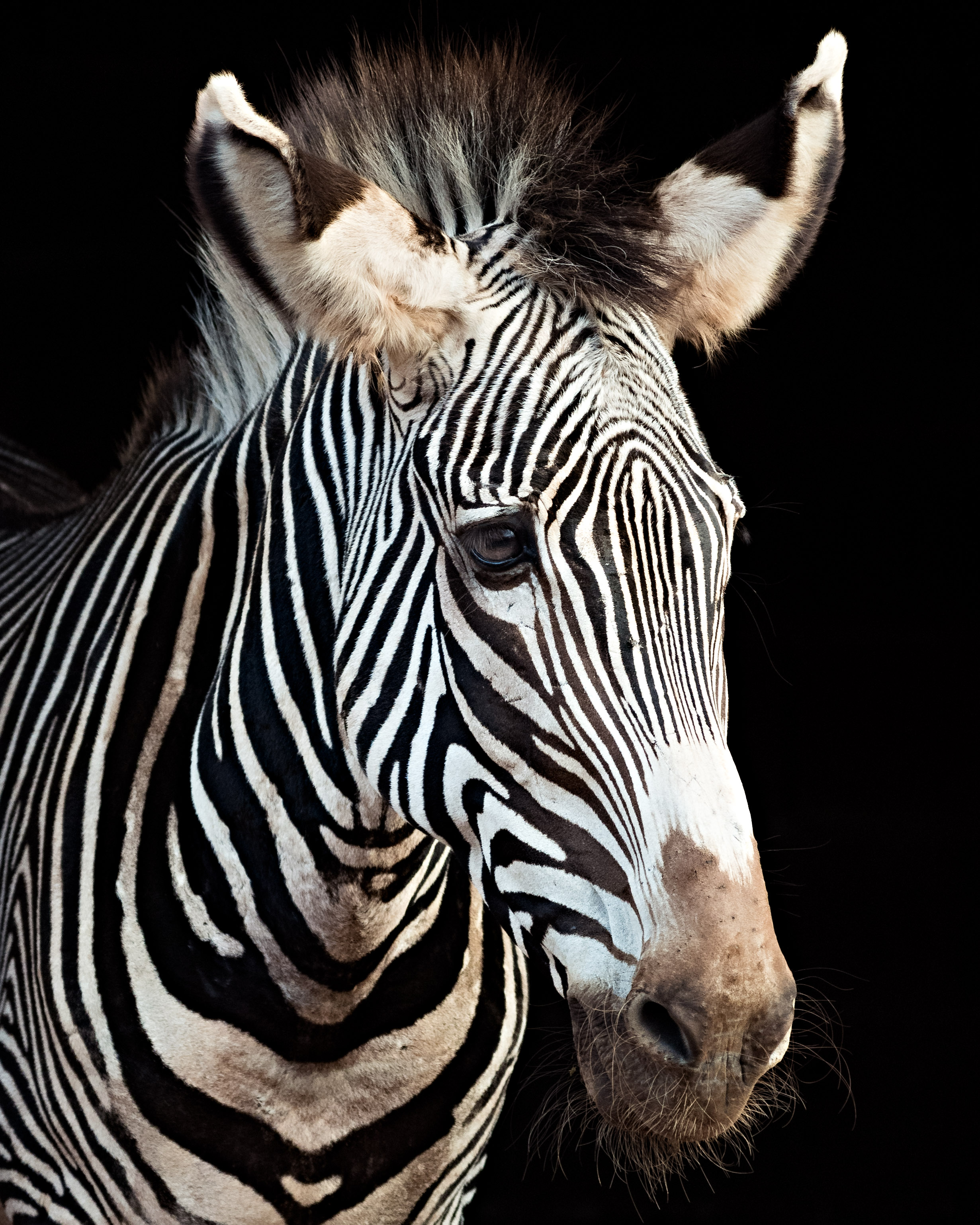 Zebra-portrait-pierre-melion (1 of 1).jpg