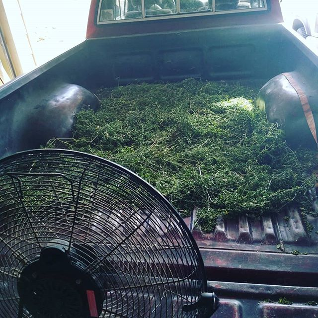 Ghetto dehydration 😂 #moringa #harvest #superfood #wildfood #foragedfood #eatlocal