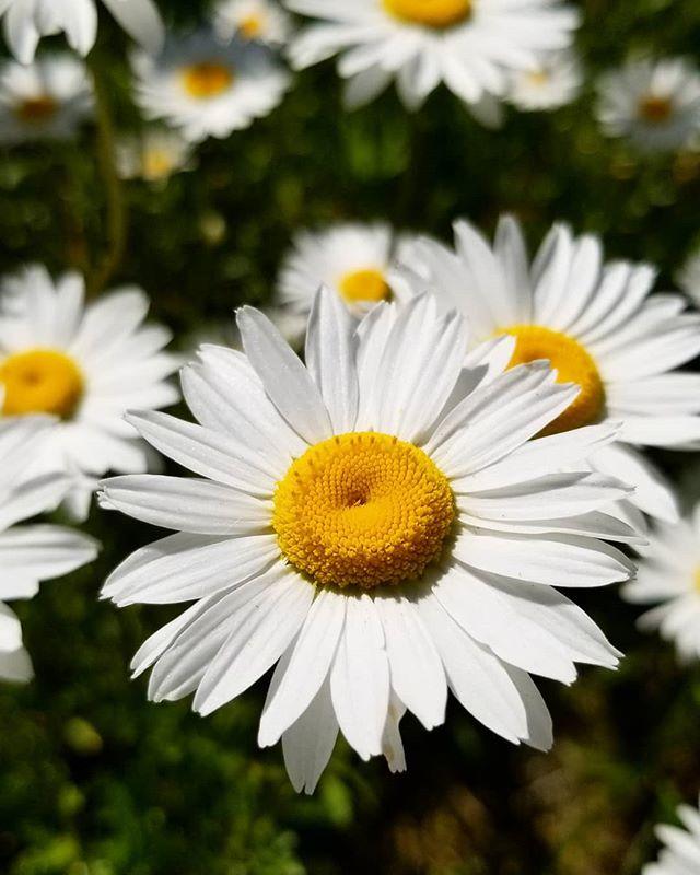 Imagine feeling as fresh as this daisy! 😌🌼🙌🌼😌 . #appointmentsavailable#osteopathy#physiotherapy#acupuncture#massagetherapy#instamassage#speechlanguagepathology#healthprofessionals#healthclinic#refreshyourself#wecanhelp#freshasadaisy#seekinghealth#treatingthewholeperson