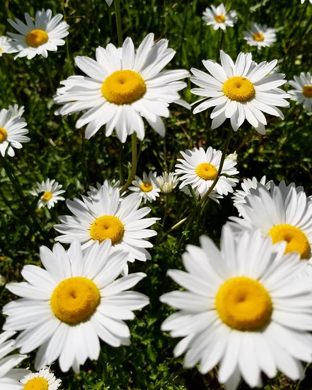 Happy Monday InstaWorld! . Appointments available this week for all of our services except massage therapy - guess we will have to survive without our sunshine @alannakinsman for the week 😢😫😘. . #daisies#daisyday#happymondays#savoursummermoments#createyourownsunshine#spreadjoy#sowseedsofwellness