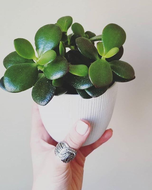 💚 Would never trade a chubby bubby jade 💚. . #jadeplant#jadeplantlove#jaded#plush#greenlife#plantswithpersonality#plantsofinstagram#plantparenthood#chubbybubby