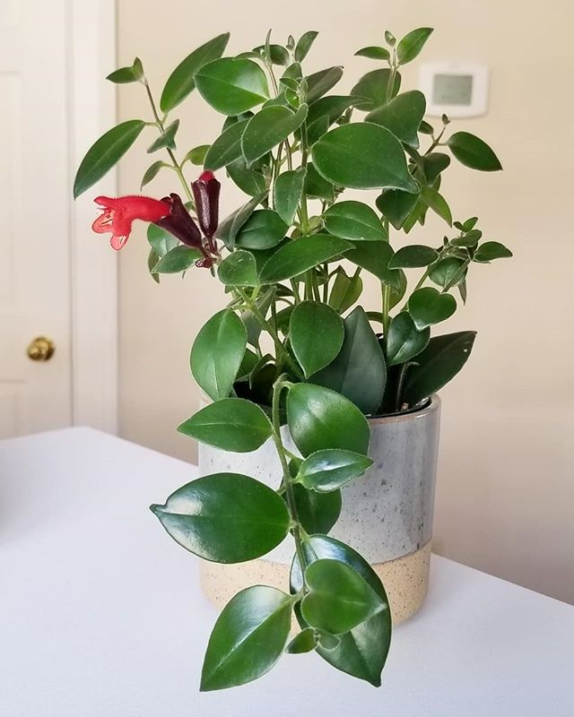 LIPSTICK PLANT UPDATE - it's doing it's thing! 💖😢💖. . We get many lovely compliments on our plant collection daily, and lots of questions as to how we keep them so happy and healthy. The key to plant health is consistency, attention, and p a t i e n c e! This little bloom was a month in the making, and it was amazing to watch the progression. . The same goes for healing in the body, changes are subtle and take time. We see clients who are exasperated with their health - they've lost faith and patience that they will feel better in days to come. . Are you in the right conditions to thrive and flower? Are you being consistent in caring for yourself? Don't lose your faith! Cultivate patience. Sending everyone love and light today🌿☀️🍀. . . #yesyou#loveandlight#selfcare#thrive#bloom#bloombloom#patience#progression#timeheals#plantsmakepeoplehappy#plantsofinstagram#plantmama#lipstickplant