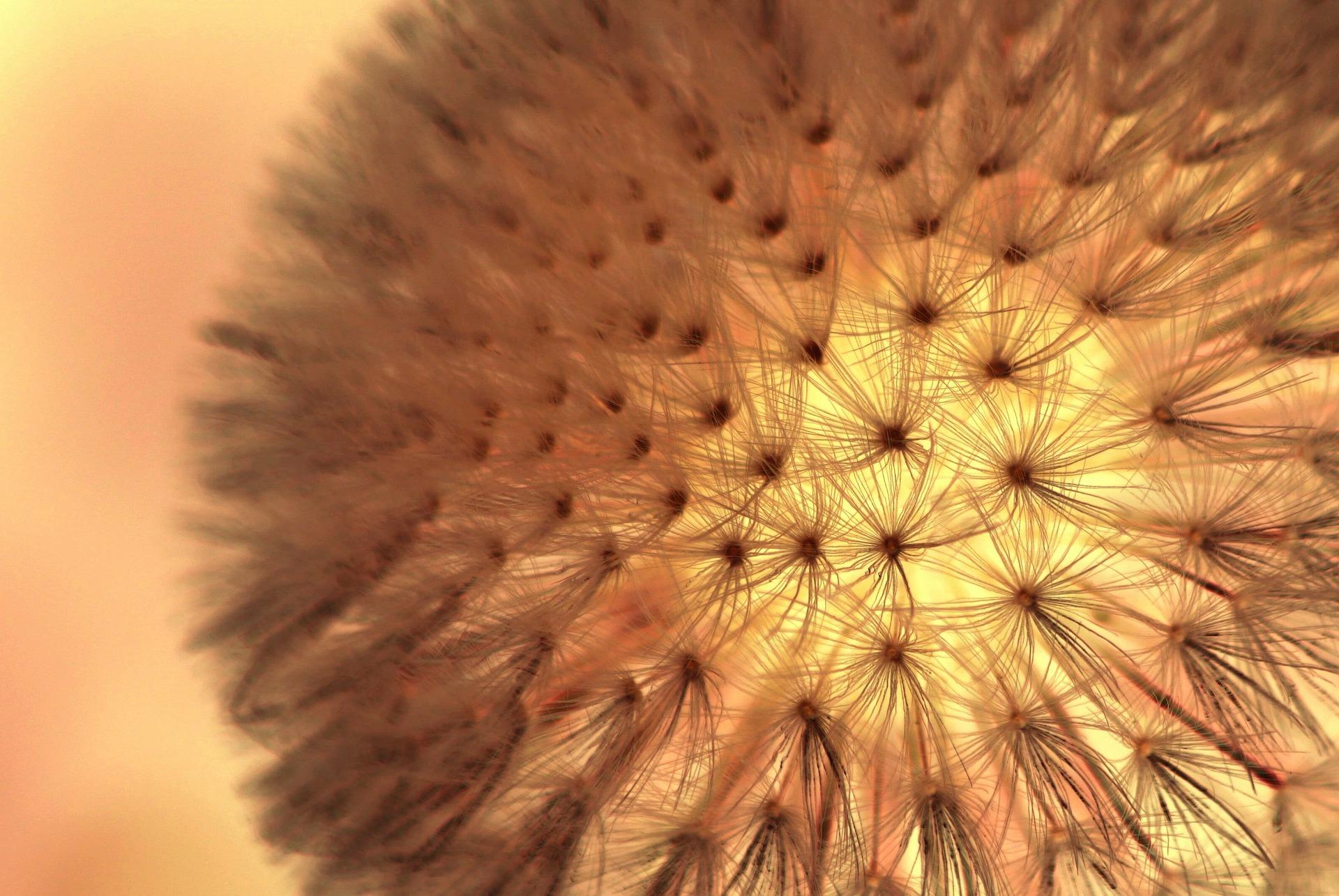 dandelion-302129_1920.jpg