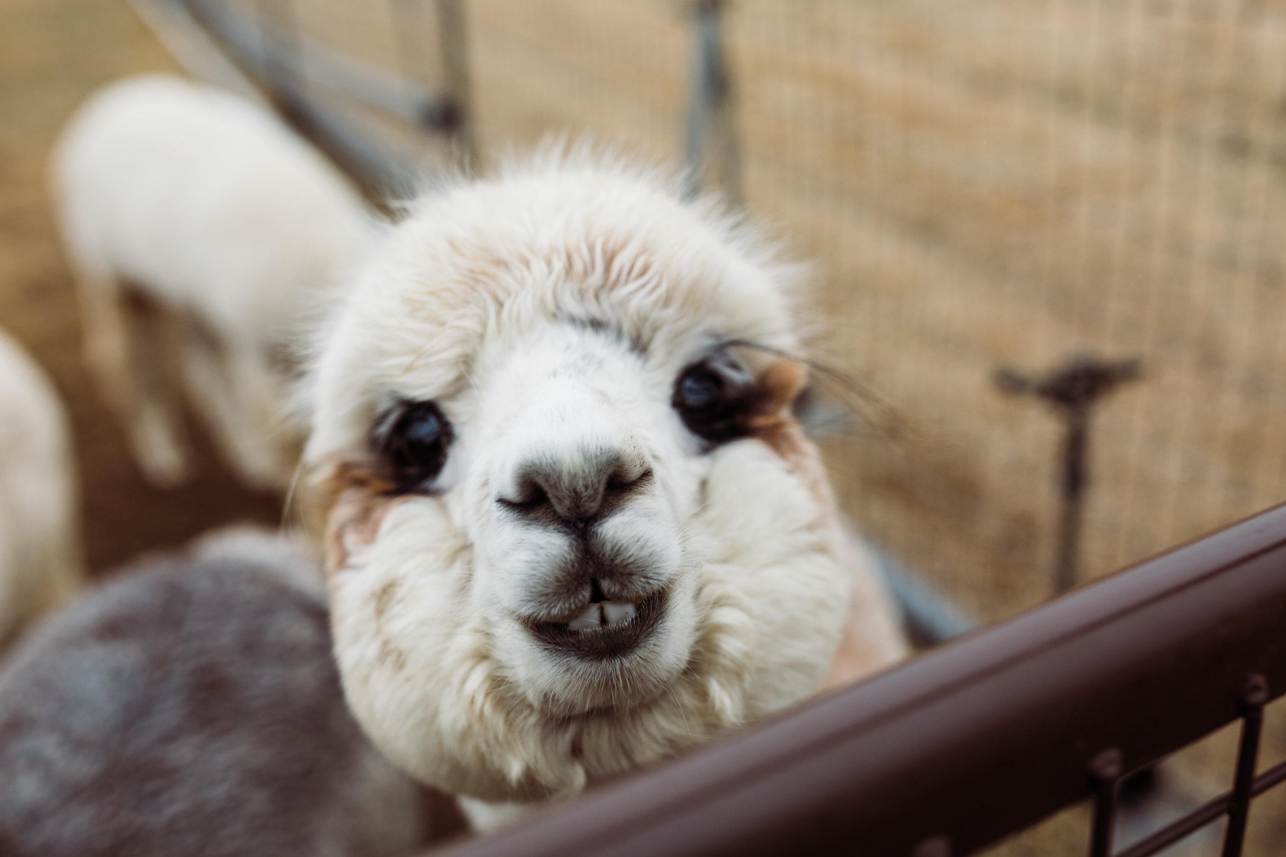 alpaca_photographer.jpg