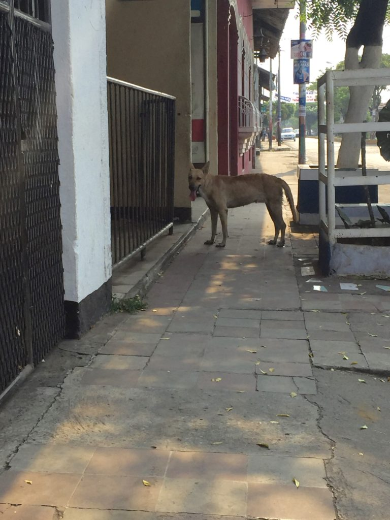 Roaming dogs are common in Nicaragua