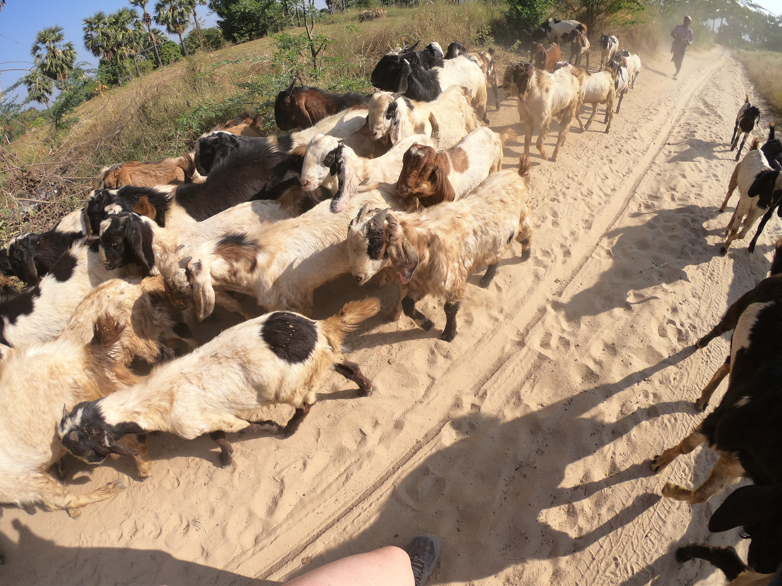 Course obstacles encountered - goats and a lot of sand!
