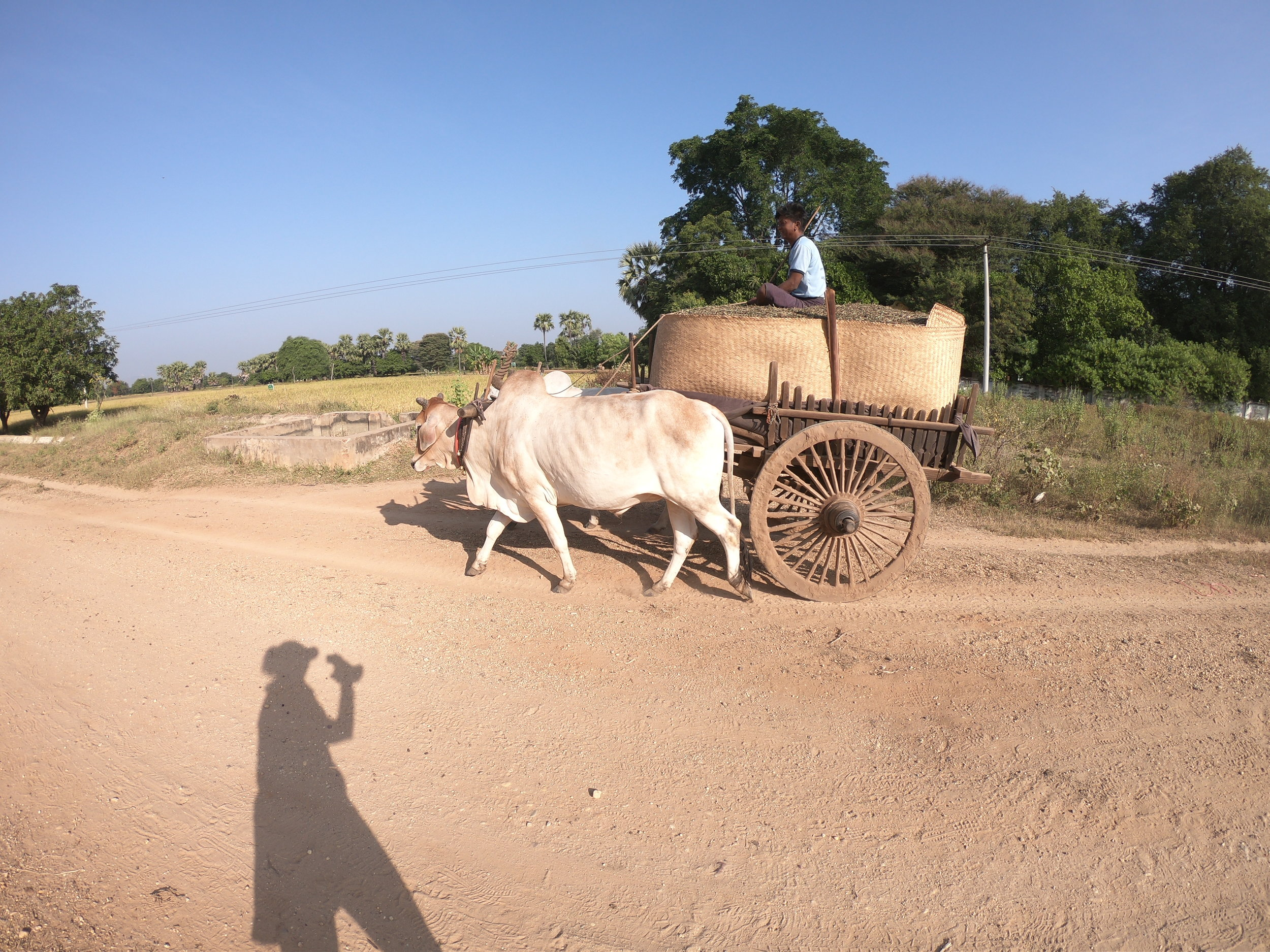 Ox cart on the course