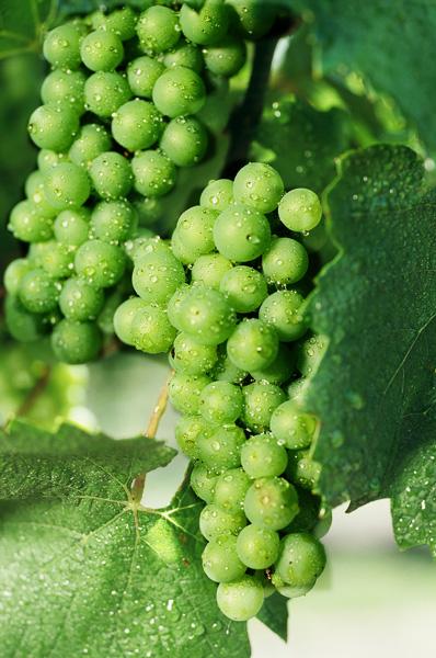 NM Wine Grapes.jpg