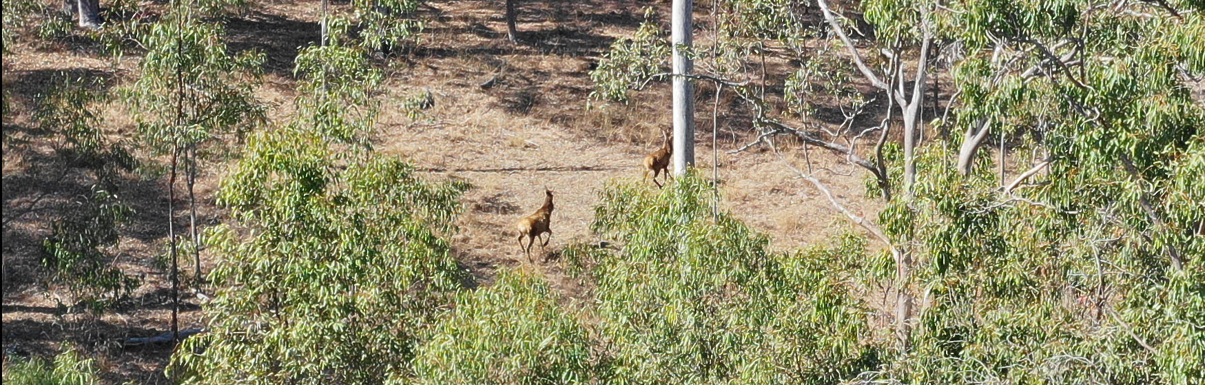 Red deer spotted via aerial reconnaissance drone during initial property inspection - 09/18