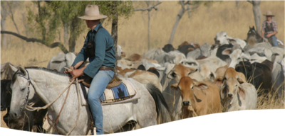 cattle tour of kimberley.png