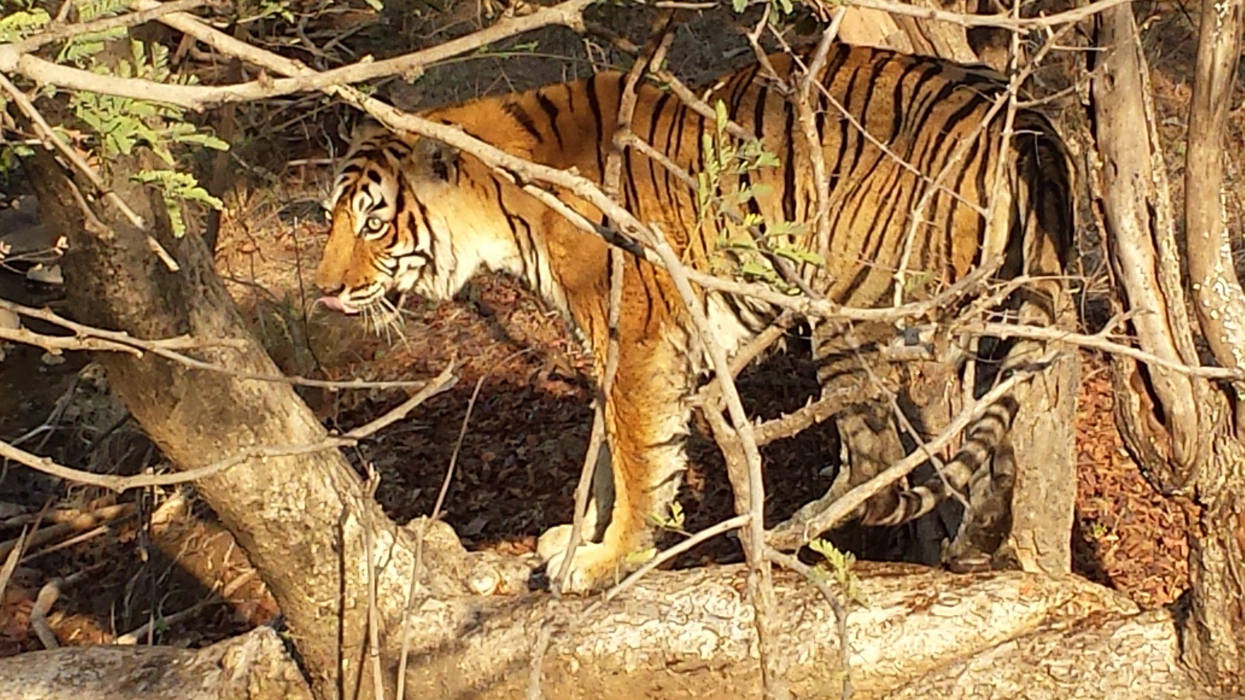 Mar 5 Ranthambore Tiger.jpg