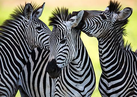 zebras_48214910_fotoliarf_5933_480x340.jpg