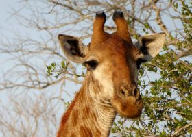 South-Africa-4-Giraffe-280x200.jpg