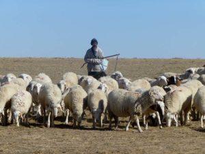 China-4-Sheep-300x225.jpg