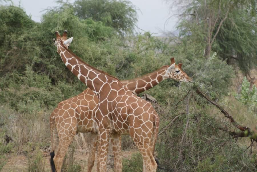 GiraffeCrossing.jpg