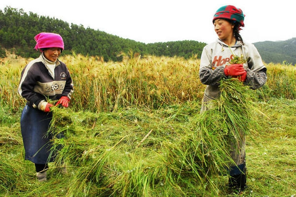 Barley Harvest.jpg