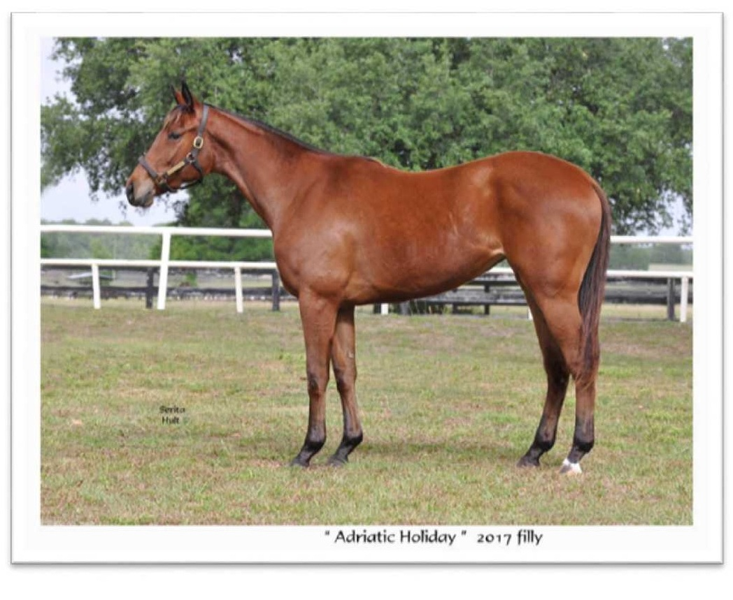 Adriatic Holiday   This Bay filly by Central Banker out of Adriatic Dream by Wild Desert was born on March 7, 2017. Central Baker is a black -type winner of four races with earnings of $599,796. He is a son of Speightstown, who was a champion sprinter and sire of 83 black-type winners. Central Banker's first foals were two-year olds in 2018 when he was New York's leading freshman sire and ranked in the top 10 nationally among freshman sires. The filly is a registered New York-Bred and eligible for New York Stallion Stakes races.  Twenty-Five shares of #18 LLC will be made available at $5,000 with each share representing 3.80 percent of LLC ownership. The share payment of $5,000 includes costs of the horse purchase; liability and mortality insurance; all training and related expenses through September 30, 2019; the Sackatoga Stable website; a contribution to Old Friends to ensure a home upon retirement; and administrative and management activities. Five percent of the LLC is maintained by the management entity, Sackatoga Stable LLC.  Should you have any questions regarding Sackatoga Stable #18 LLC, please contact Jack at                 (518) 461-1850.