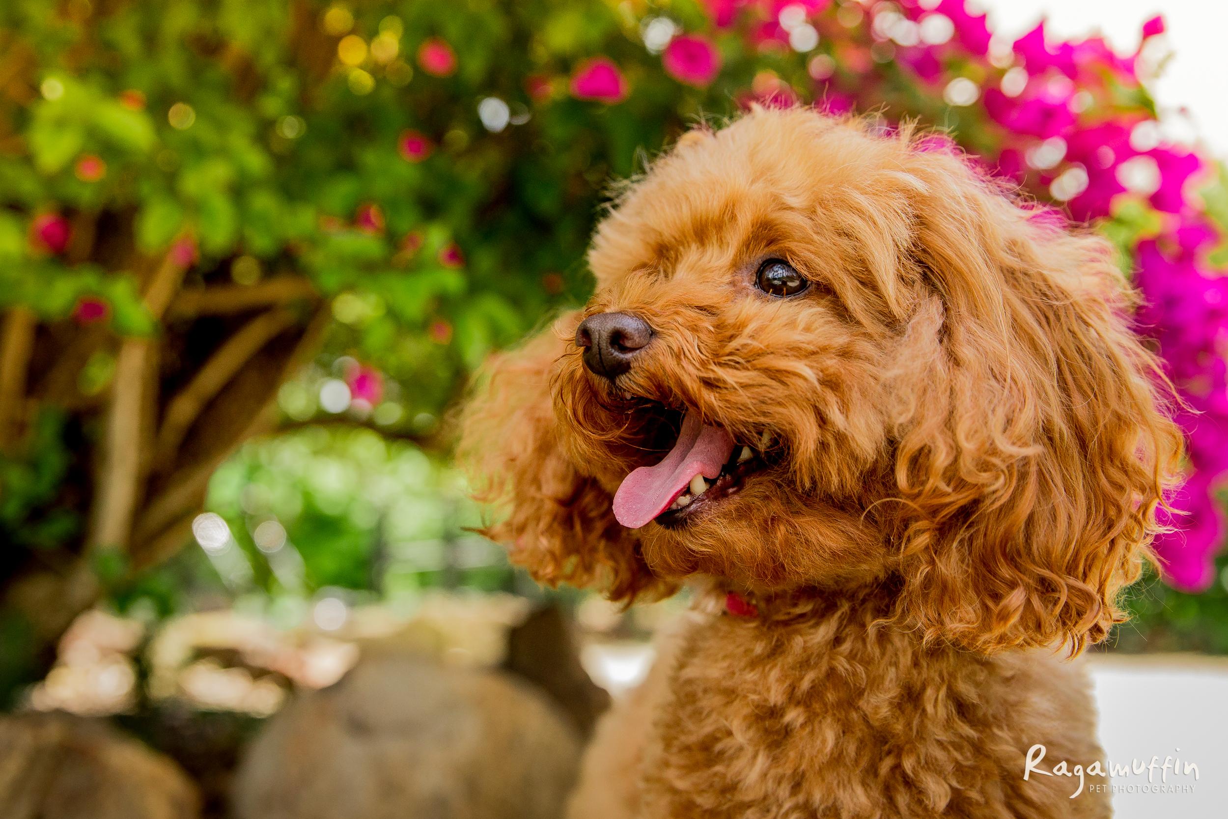 toy-poodle-melbourne