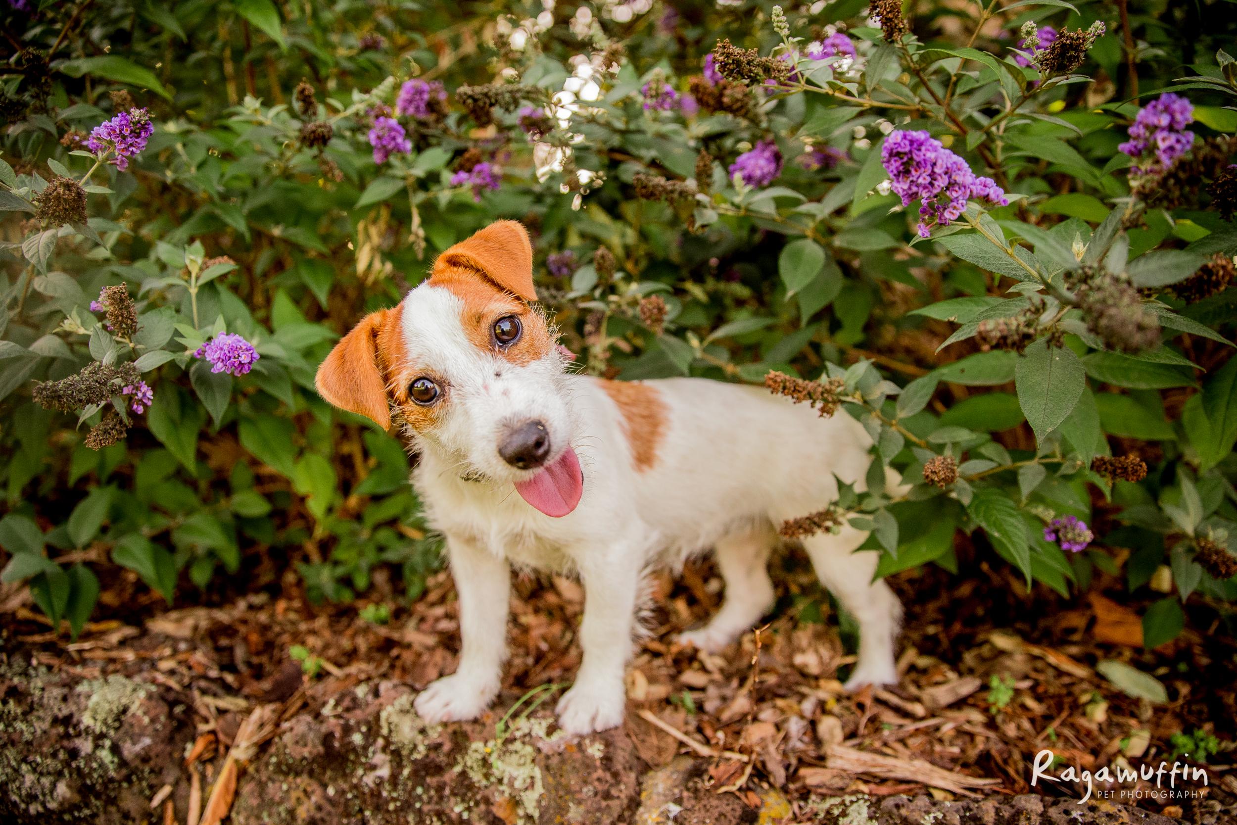 jack-russell-puppy.jpg