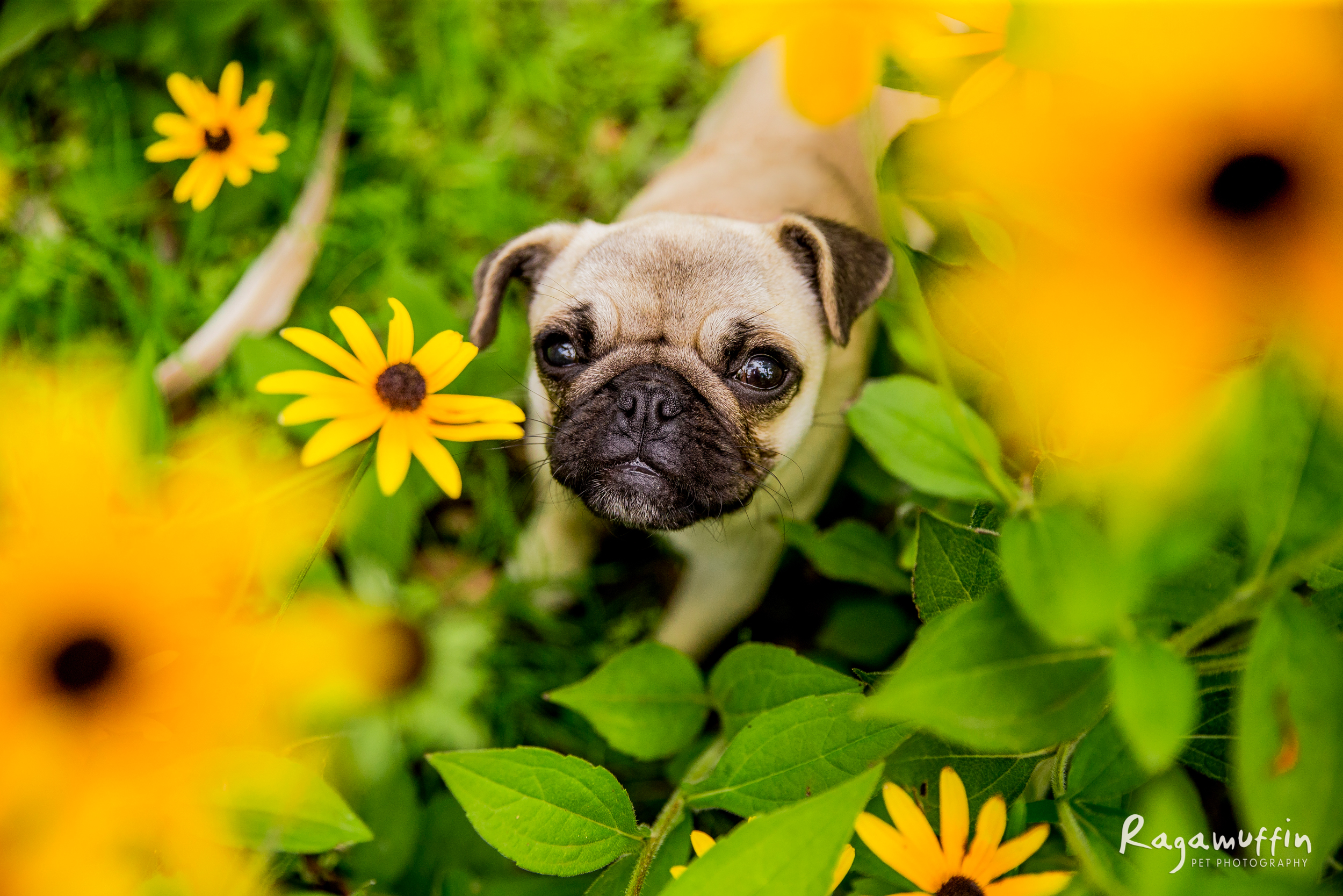 pug-puppy-in-flowers