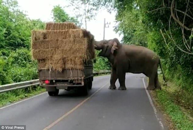 wild elephant thailand