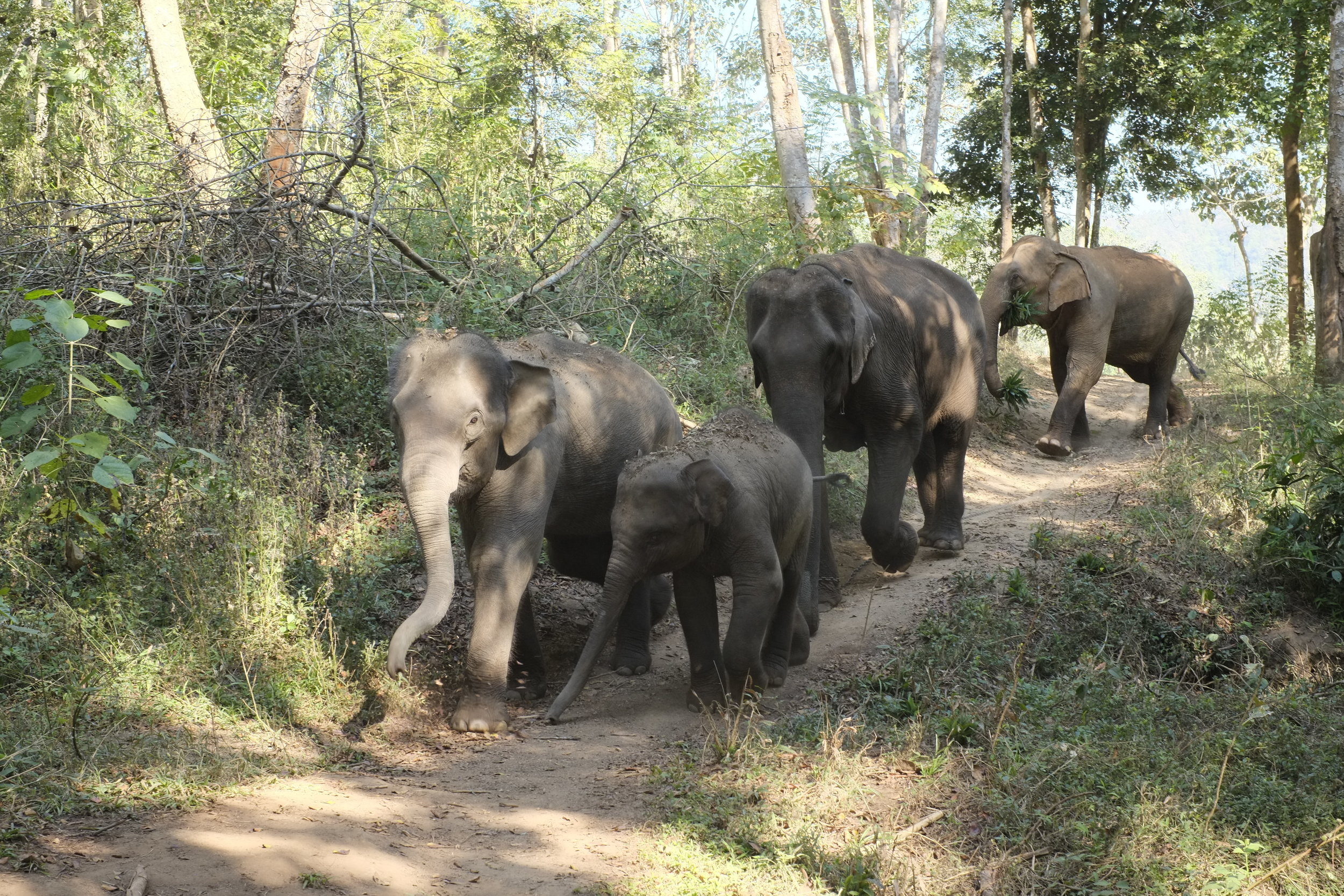 Elephants at Chai Lai Orchid in Chiang Mai