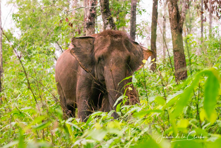 A protective mother elephant hides her baby.