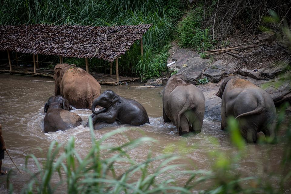 Elephants play together in the Mae Wang River at Chai Lai Orchid.