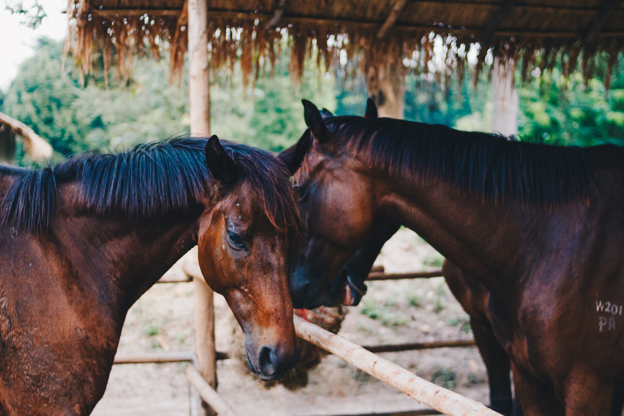 Second-Wind-Horse-Rescue-Ranch-ChaingMai-Suniko-Photo-October-2018-73.jpg