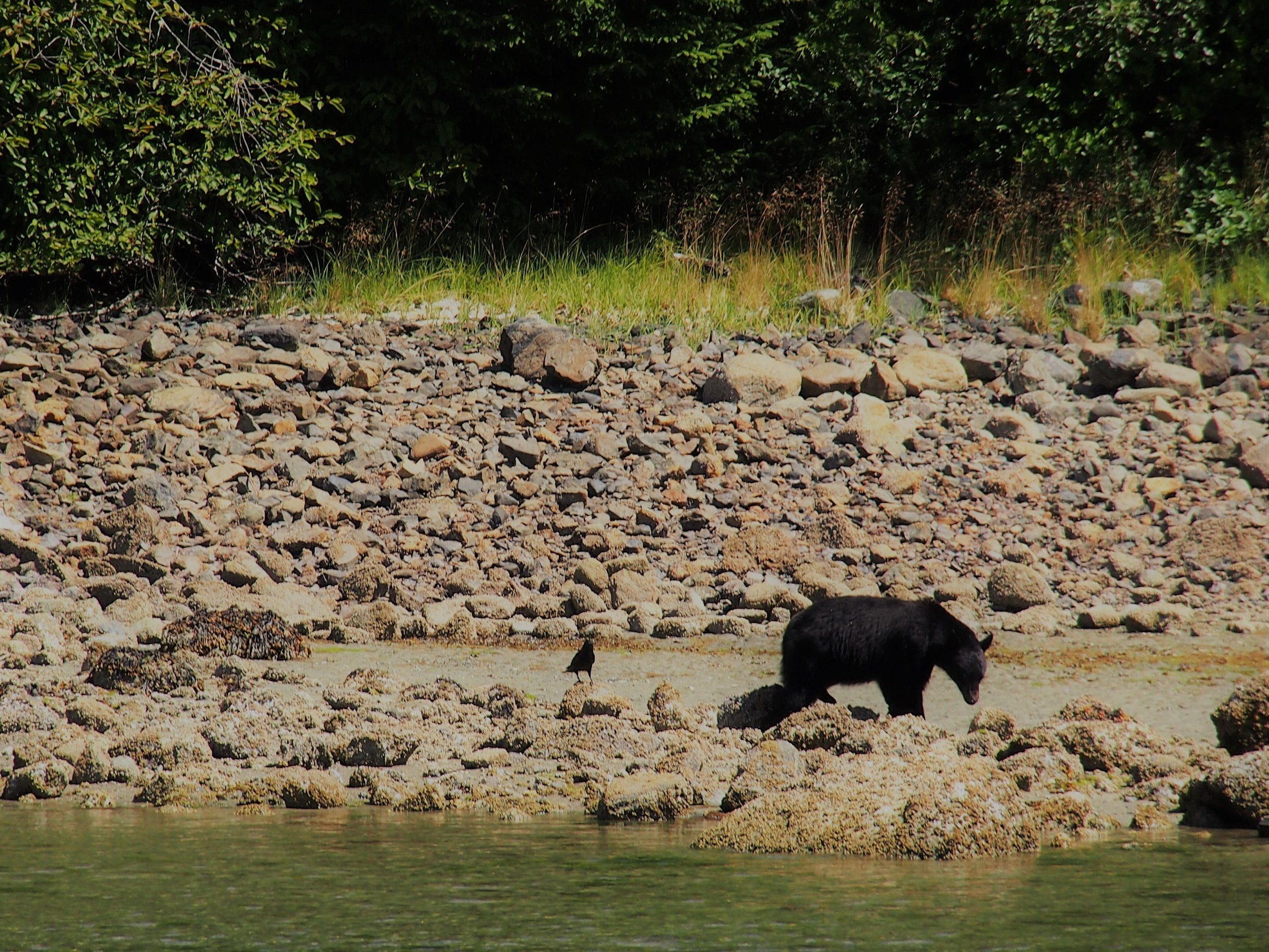 Black bear noshing with crow on beach crabs