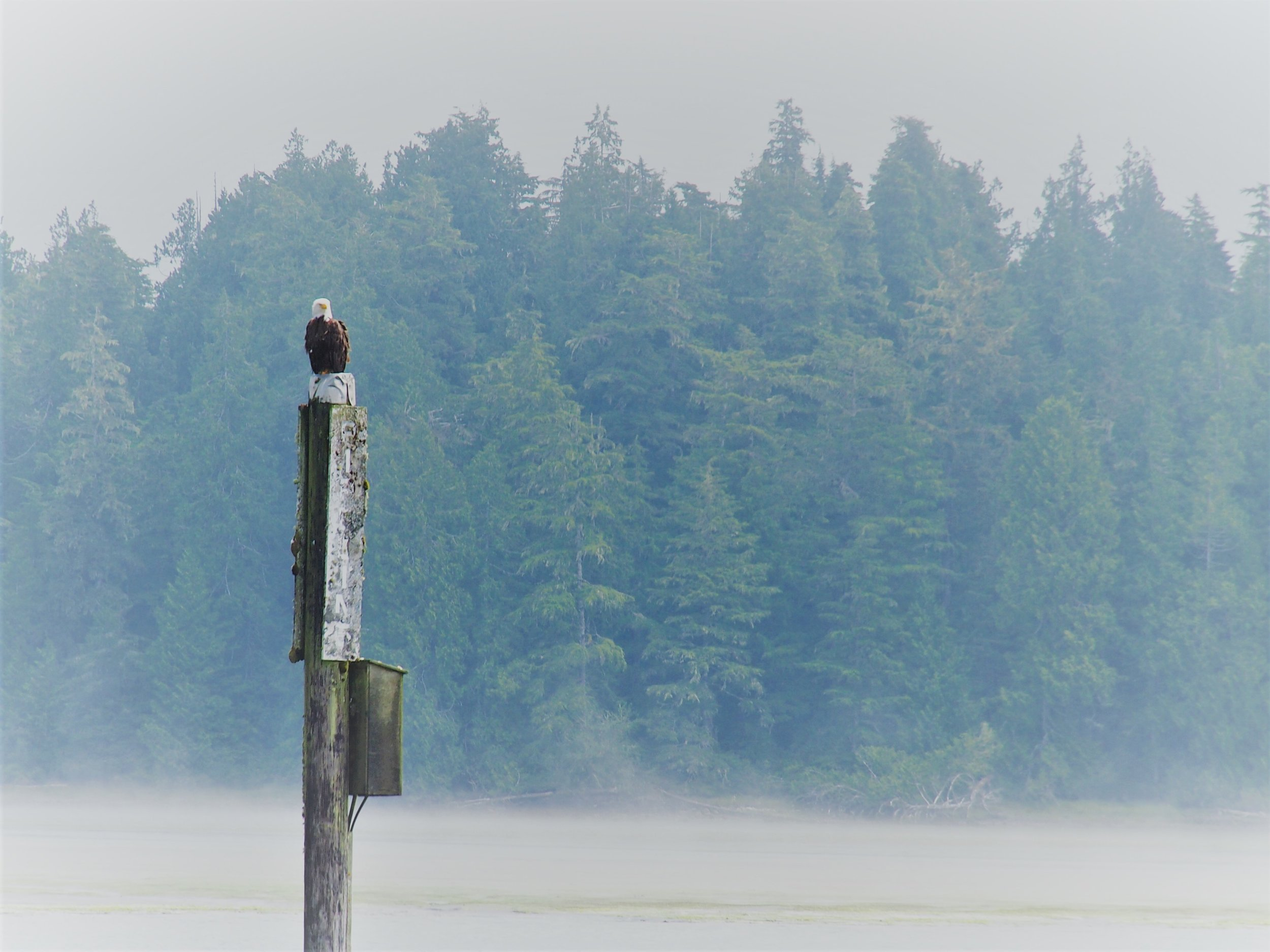 Bald eagle greets you