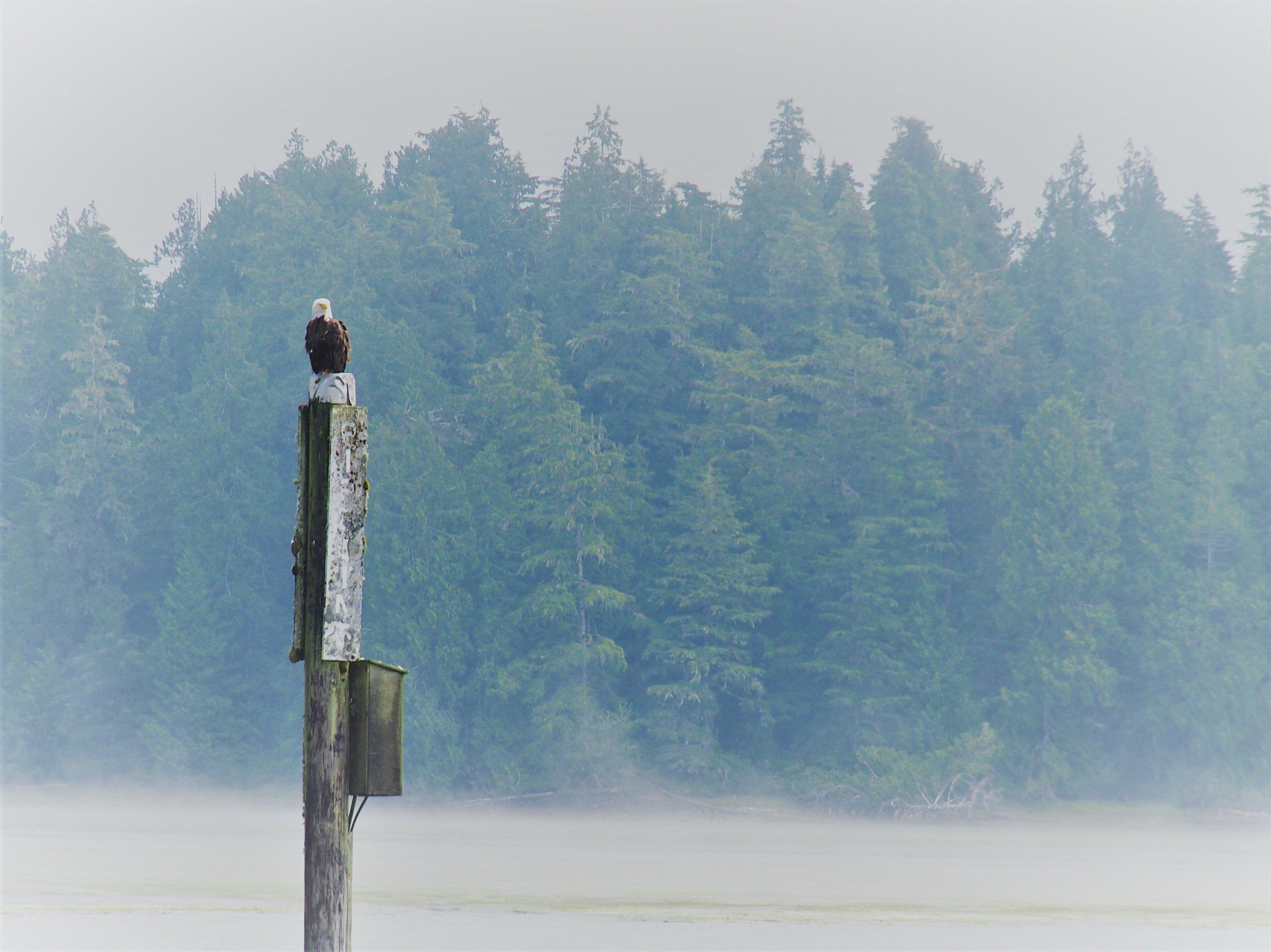 Bald eagle greets you