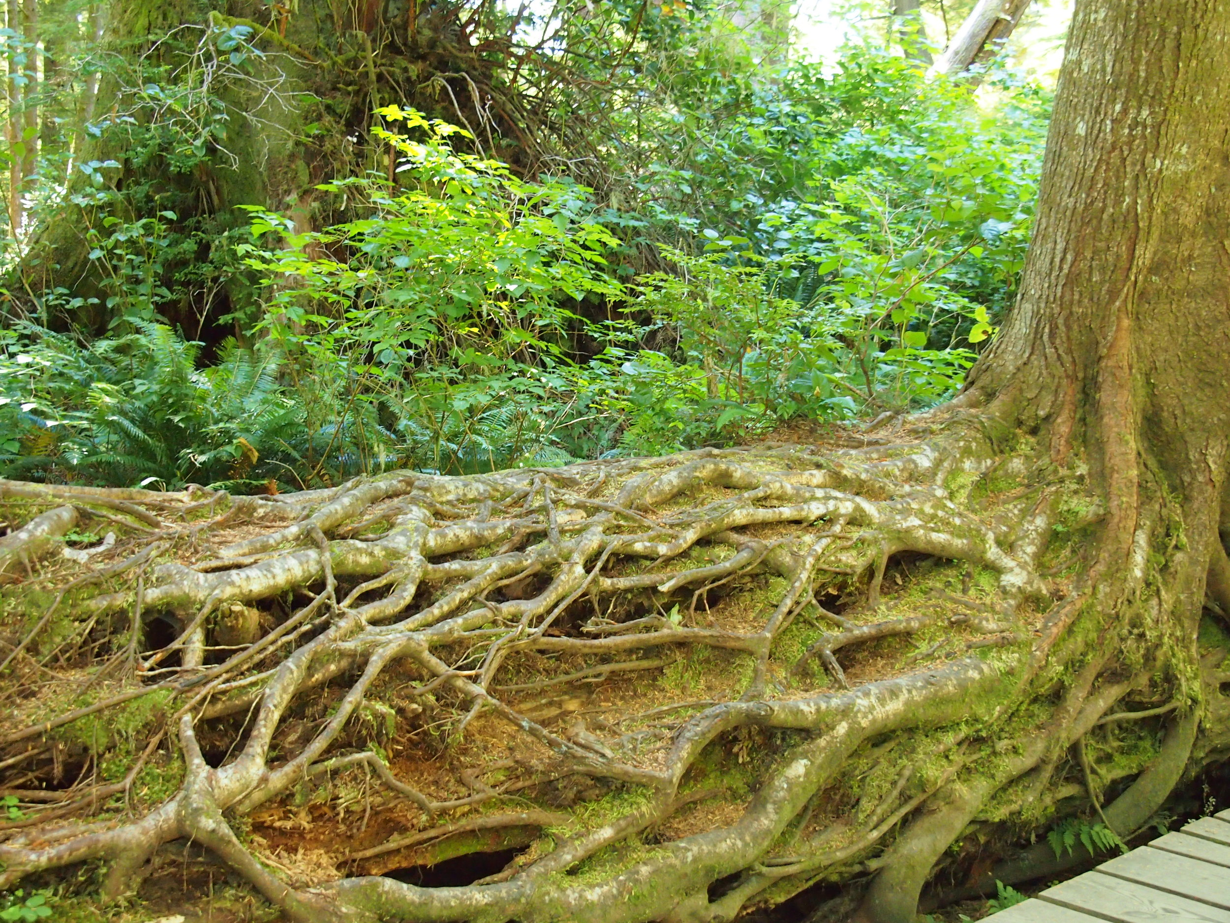 Impressive fallen, rooted nurse log