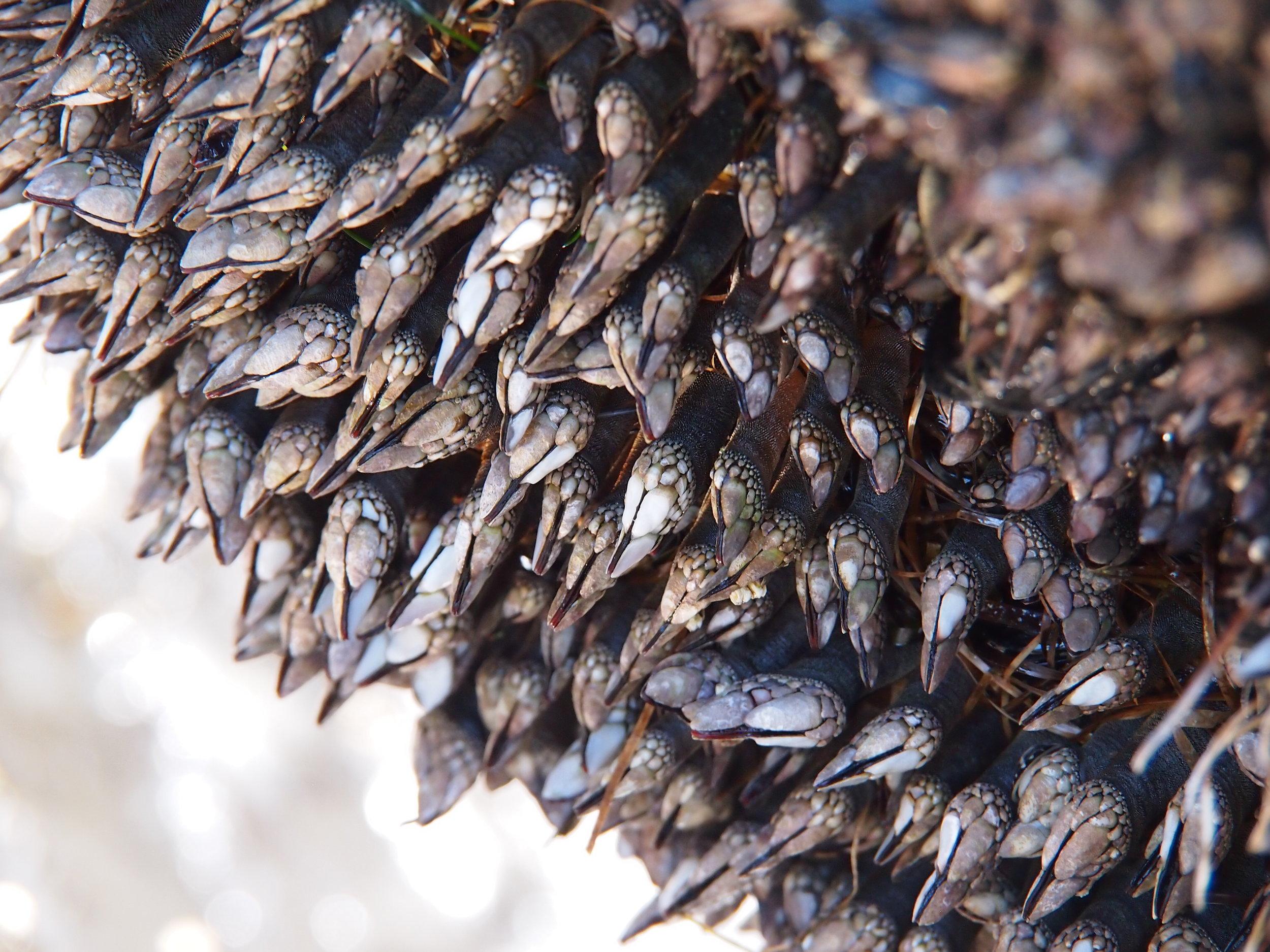 Gooseneck barnacles