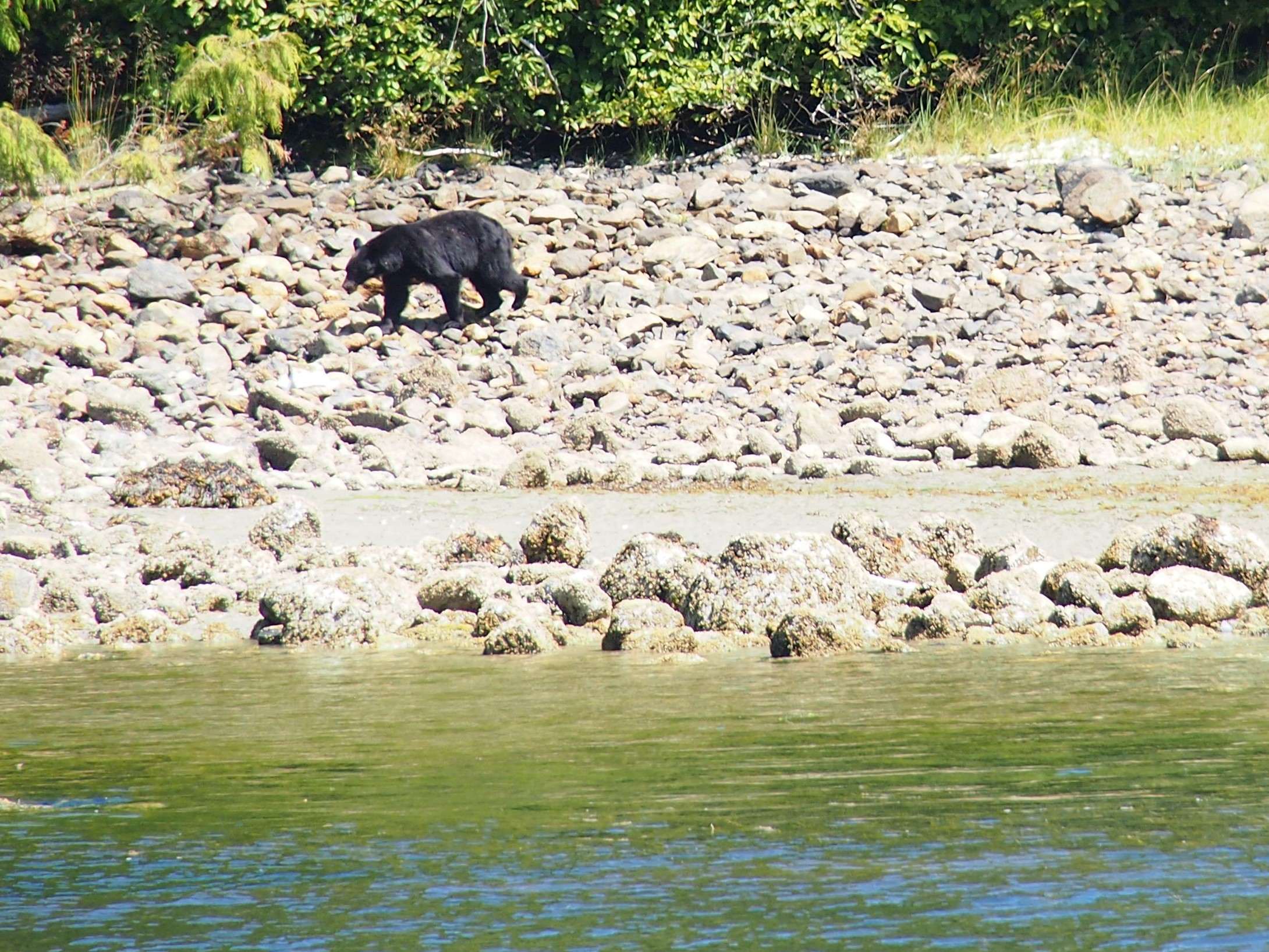Black bear retreating to the woods after a filling its tummy with yummy crab. We saw this bear and 2 others during our boat tour in Browning Passage.