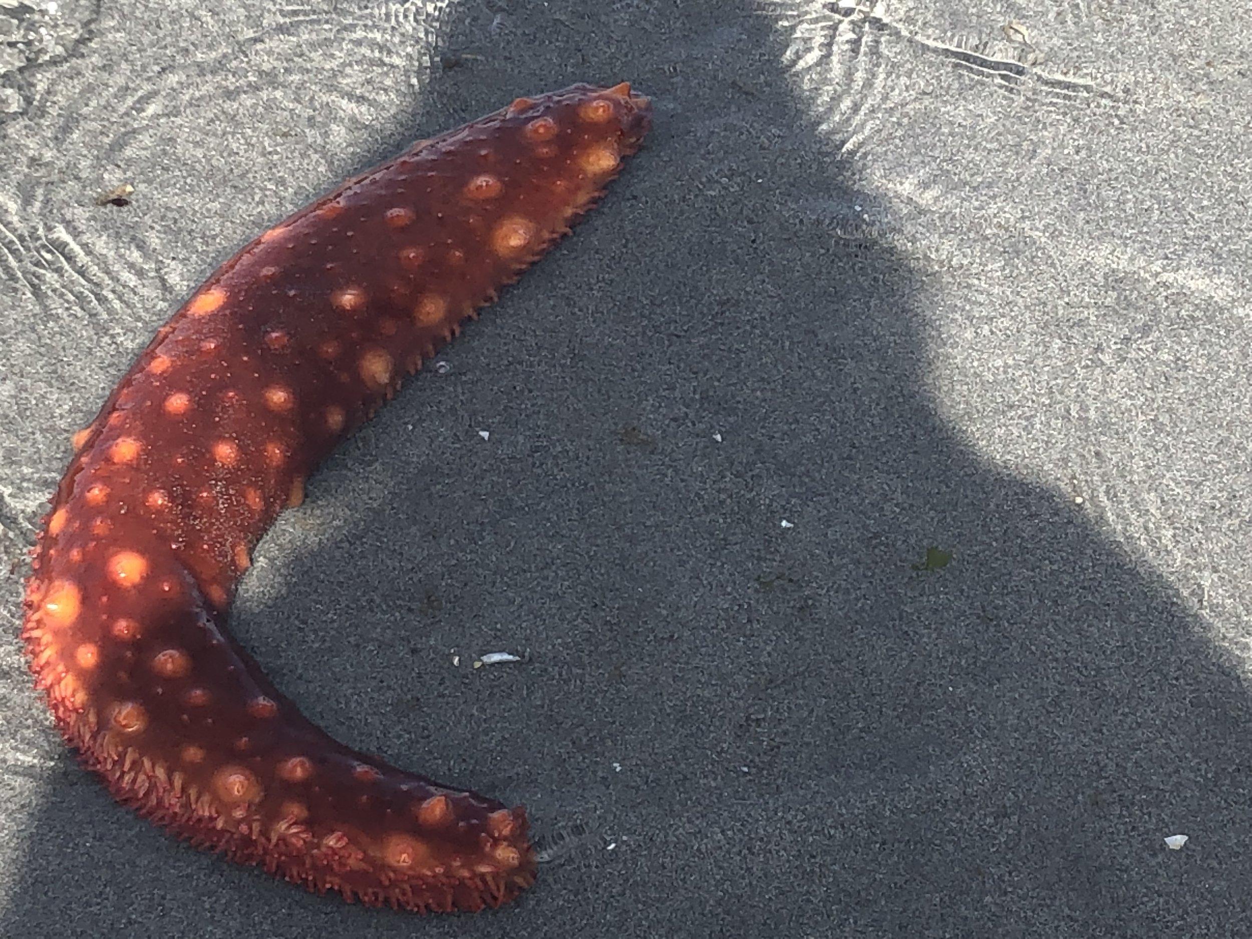 Sea Cucumber at Low Tide