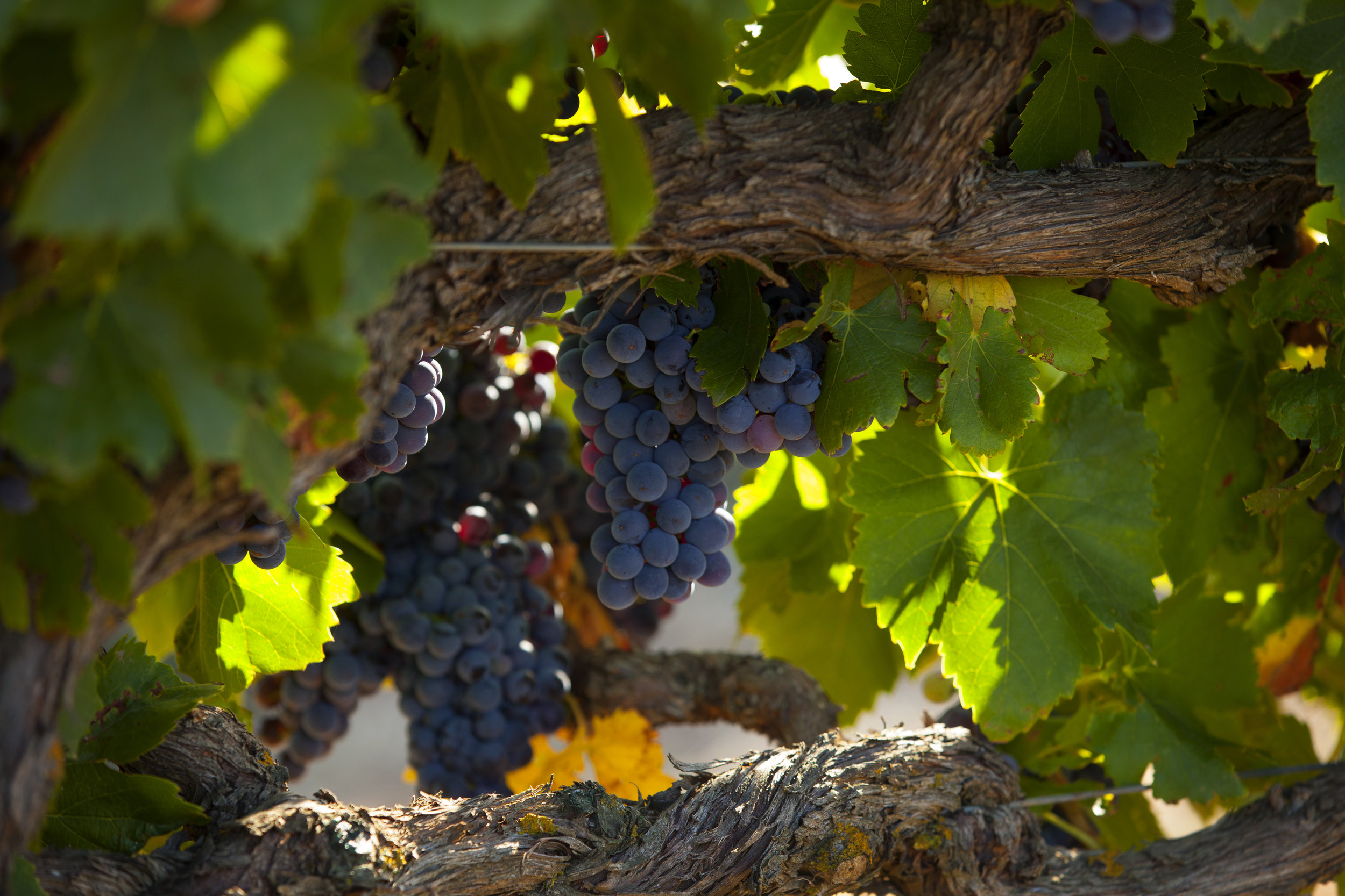 Vintage Draws NEAR - old Grenache at the home block in mattiske road, stone well