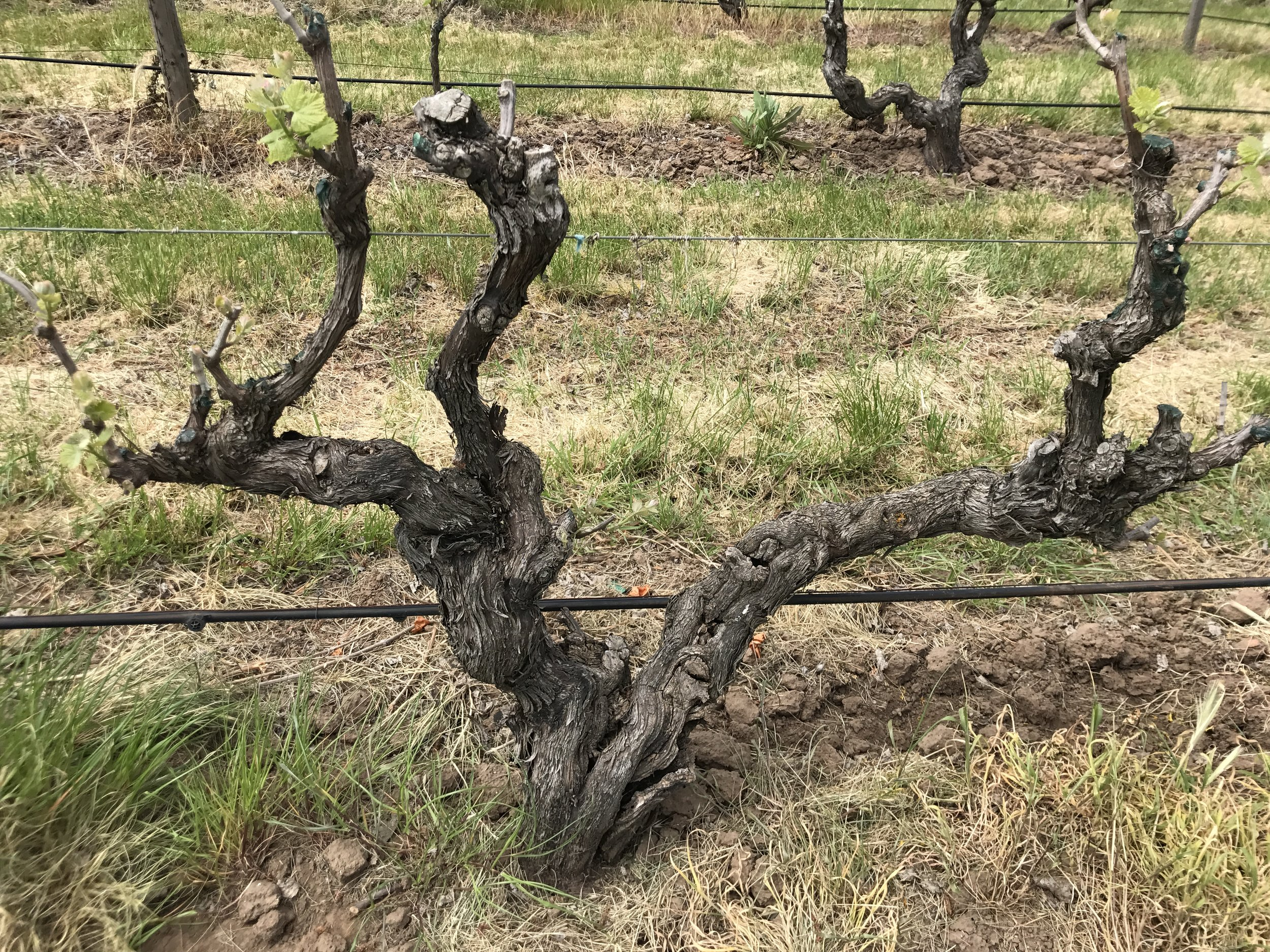 The old Shiraz at the home block in stone well with the first signs of budbirst