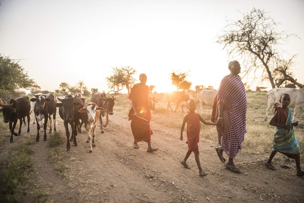 Cows being led to be milked in Tanzania. Natural climate solutions are relevant in every nation in the world, not just those with tropical forests. Photo © Nick Hall