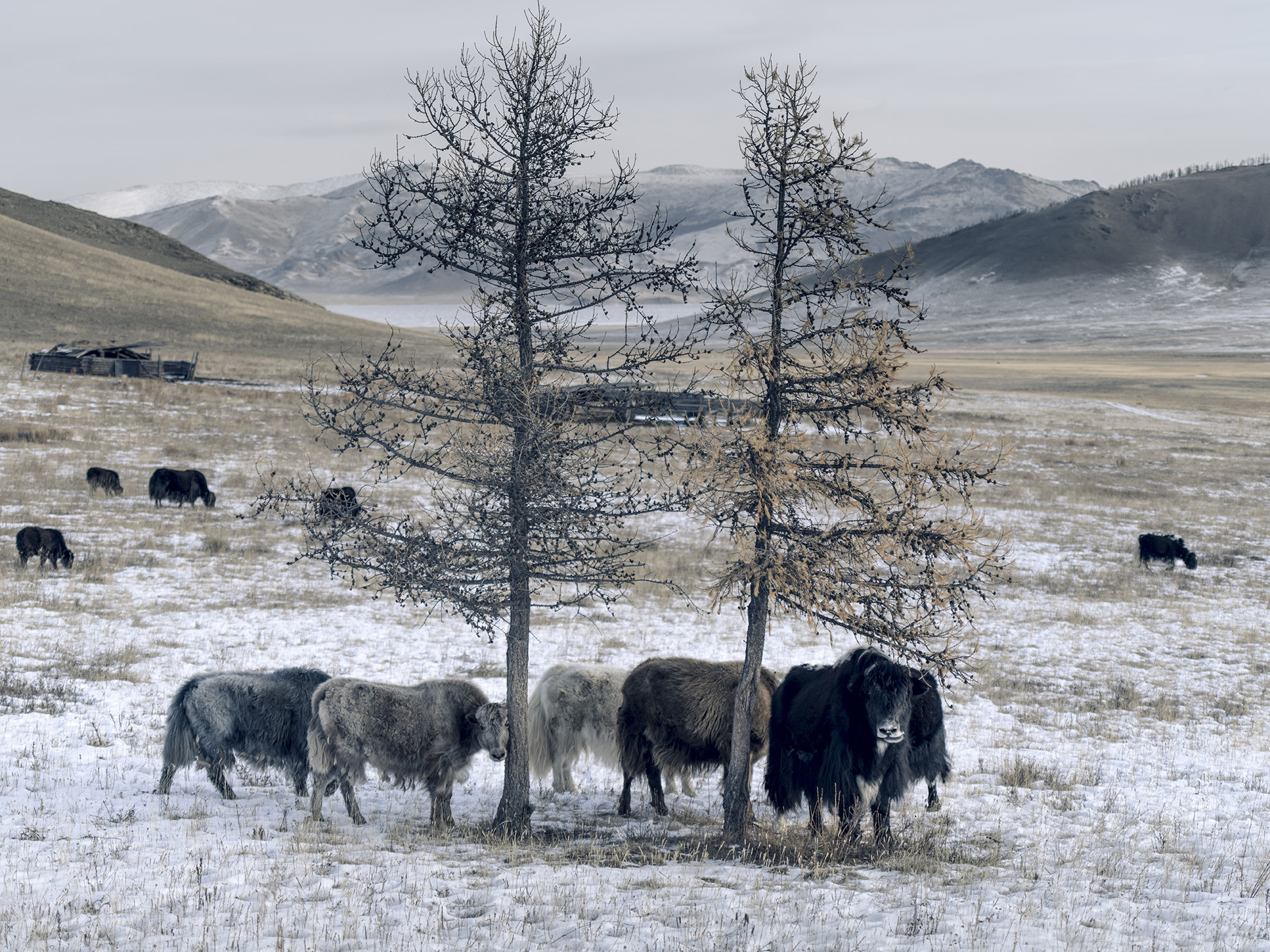 Cocoa, tan,silver and platinum: the colours of the Khangai yak mirror the landscape. Picture: Tengri.