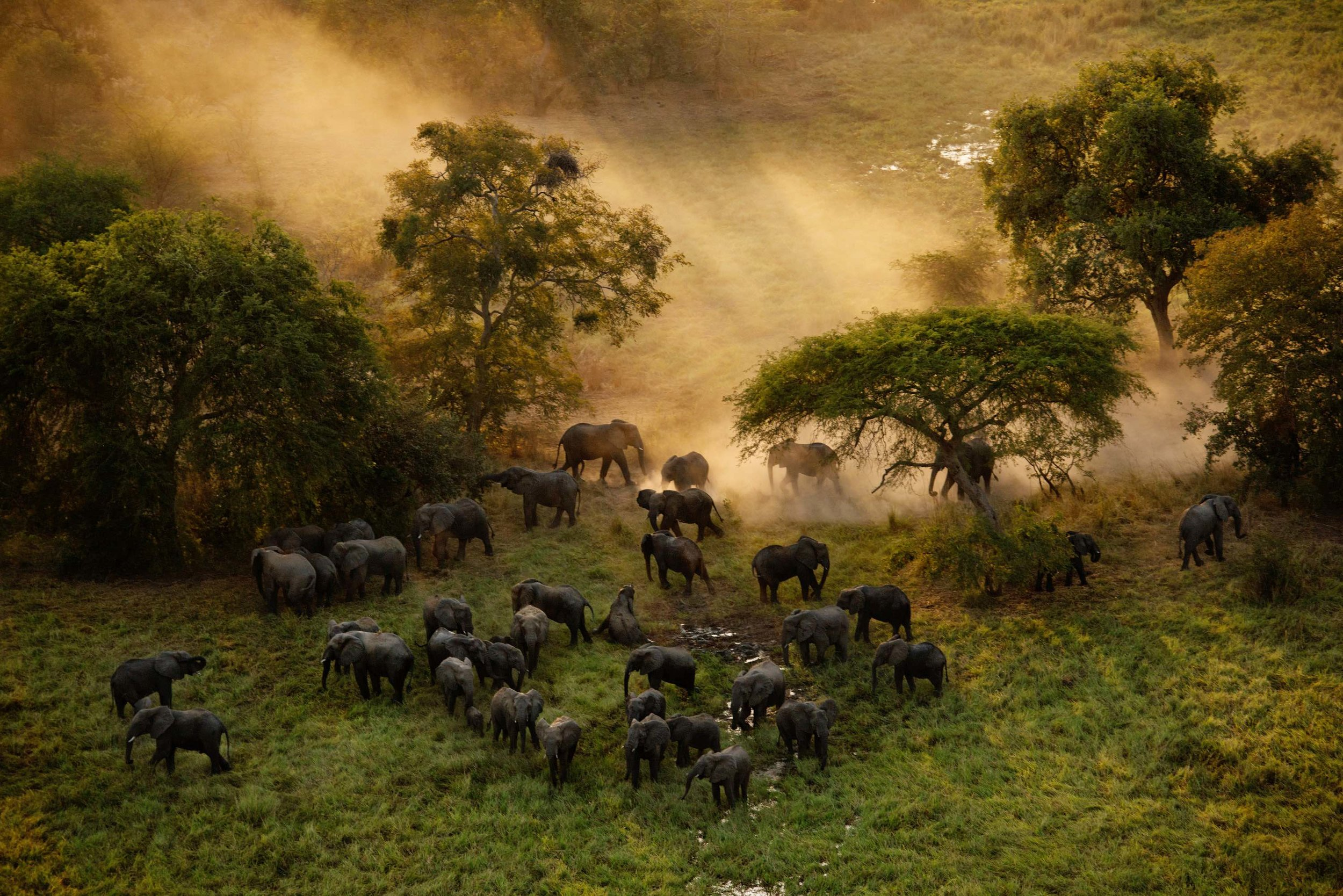 According to the Great Elephant Survey, there are less than 800 elephants left in the country of Chad. The elephant population in Zakouma National Park in Chad plummeted from approximately 4,000 in 2005 to just 450 in 2010 due to massive poaching. After an intensive anti-poaching program was implemented, elephant numbers stabilized and calves are being born again. Photograph: Kate Brooks.