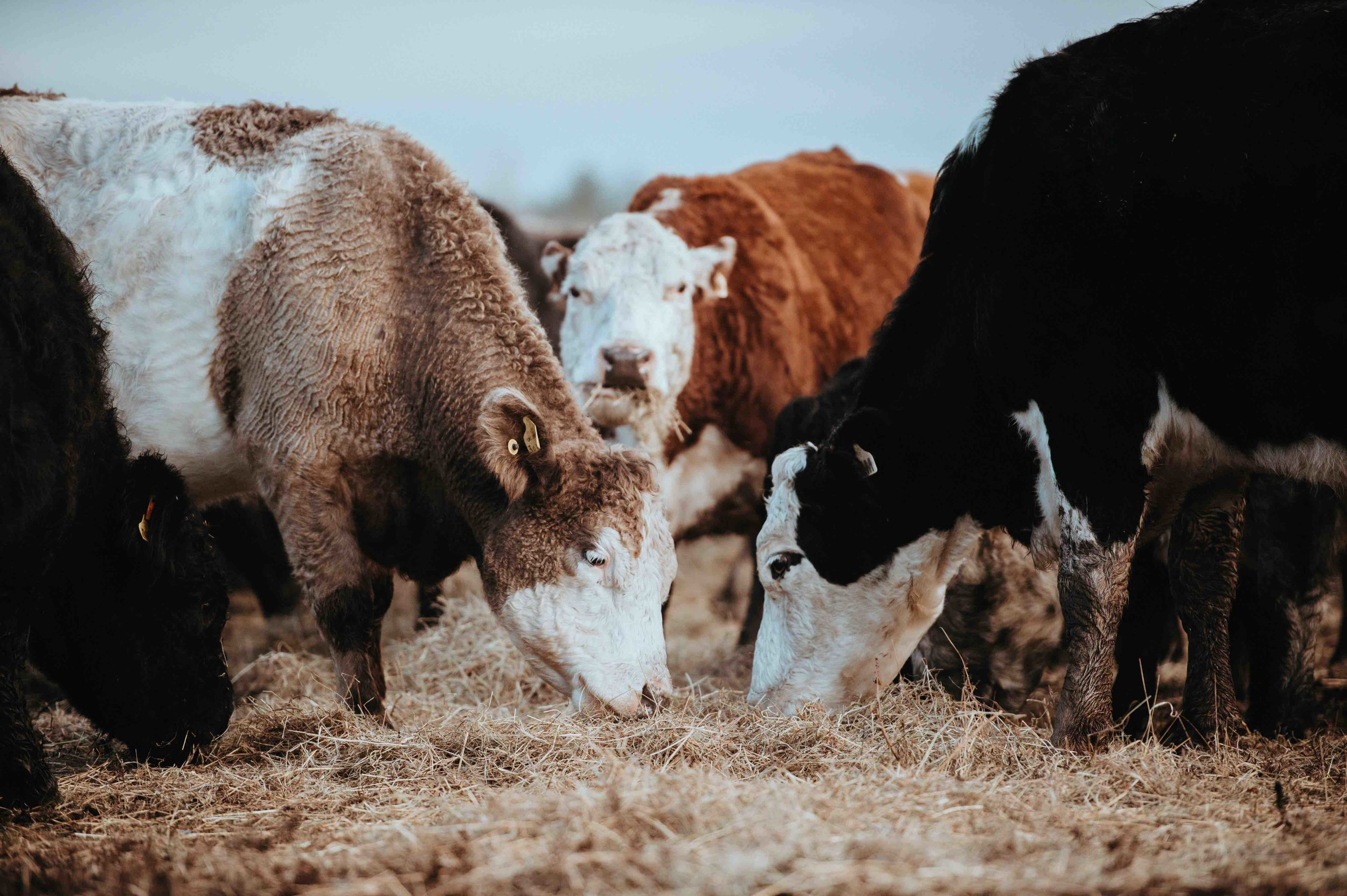 Poor cows. Agriculture is one of the most significant contributors to climate change. Picture: Annie Spratt, Unsplash.