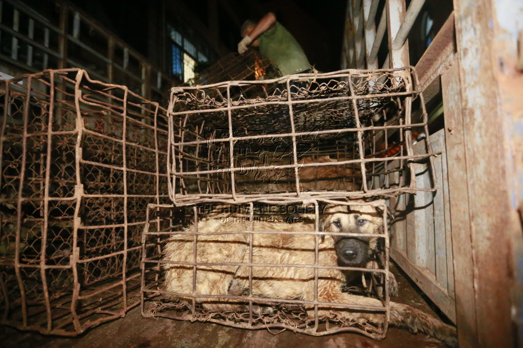 Terrified, emaciated, a dog stares out hopelessly from behind bars. Picture: HSI.