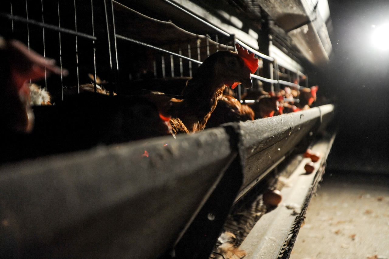 Hens in battery cages. With grateful thanks to - and in complete awe of -  Jo-Anne McArthur / Animal Equality. www.weanimals.org