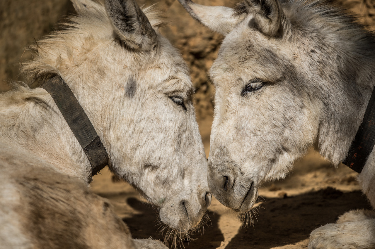 Donkey sanctuary in Nepal. Picture: Jo-Anne McArthur, We Animals.