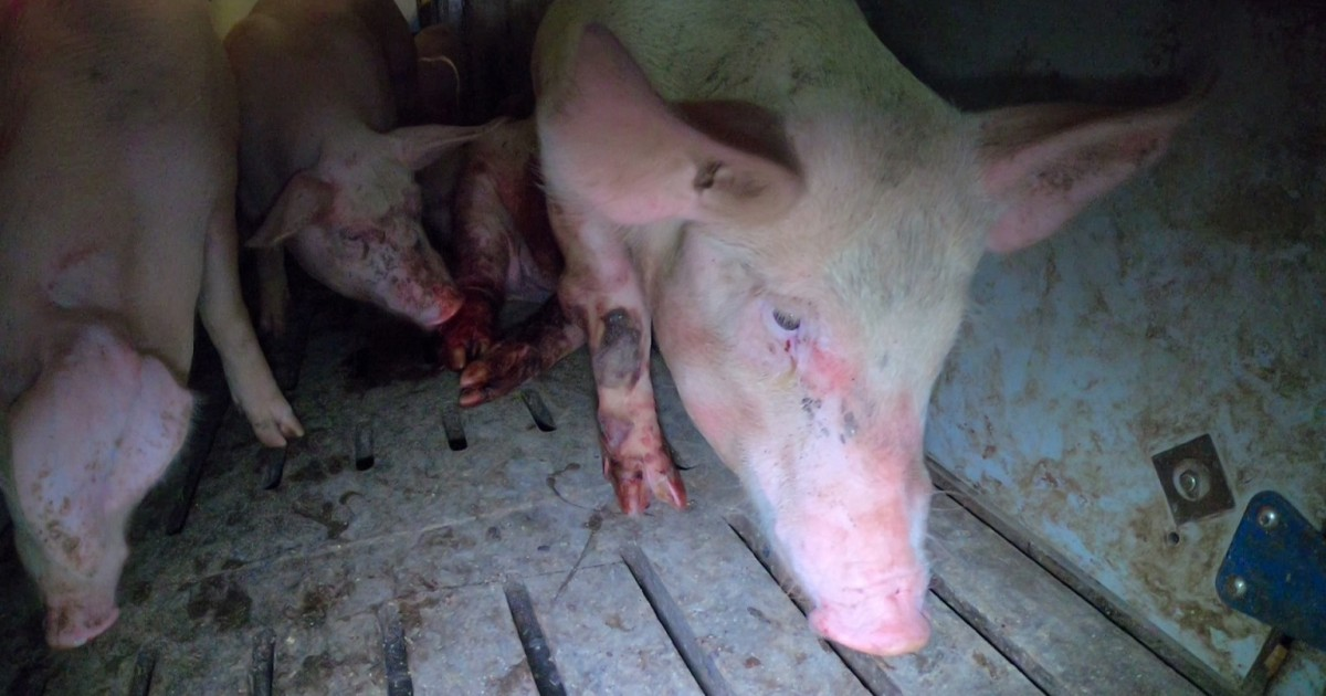 Nearly 15,000 pigs continue to suffer horribly at Hogwood Farm, Warwickshire. Picture: Viva!