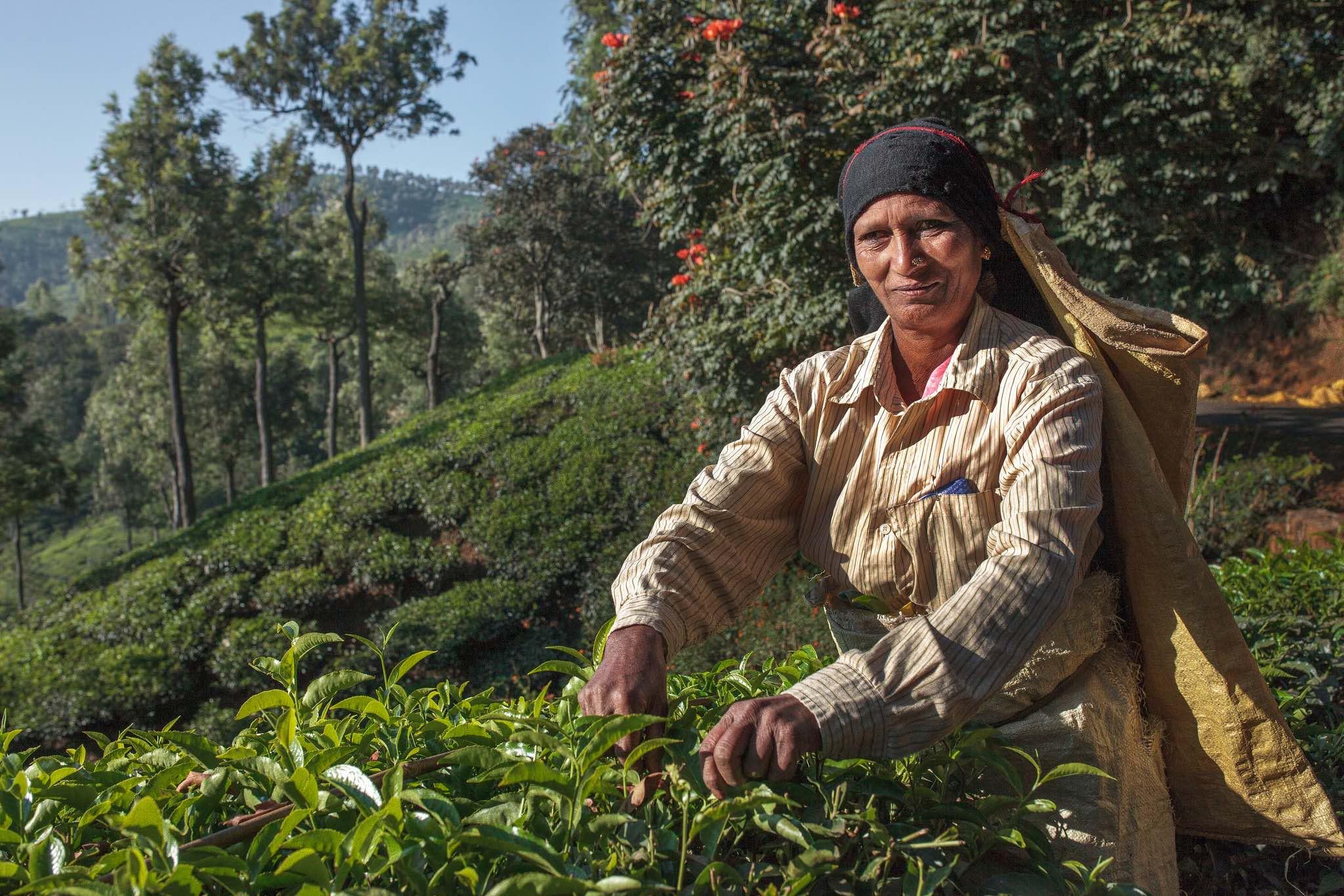 India Tea Plucker in Nilgiri, Tamil Nadu named Saroja, a tea plantation worker at Woodlands Estate. Photo credit: Sara Hylton