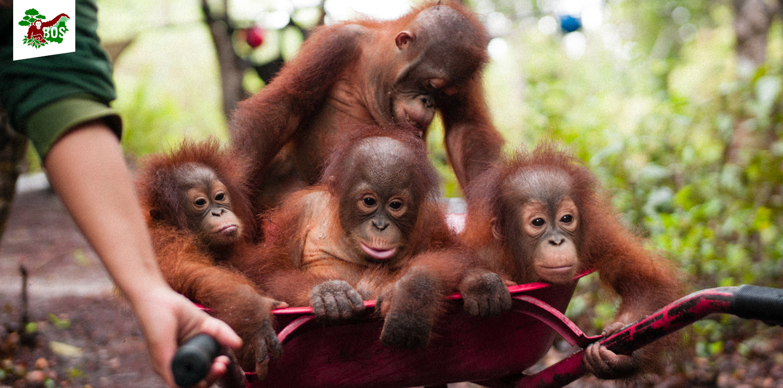 Image:  Borneo Orangutan Survival.